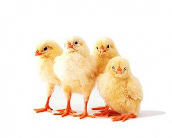 Farming and transportation of chickens / pigs - Arrosi